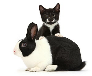Black-and-white tuxedo male kitten, Tuxie, 8 weeks, with black-and-white Dutch rabbit, against white background NOT AVAILABLE FOR BOOK USE  -  Mark Taylor