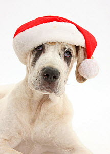 Great Dane pup, Tia, 14 weeks, lying with head up, wearing a Father Christmas hat, against white background  -  Mark Taylor