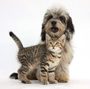 Tabby kitten, Stanley, 8 weeks, with fluffy black-and-grey Daxie-doodle pup, Pebbles, against white background NOT AVAILABLE FOR BOOK USE  -  Mark Taylor