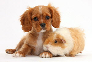 Blenheim Cavalier King Charles Spaniel pup, Star, with shaggy Guinea pig, against white background NOT AVAILABLE FOR BOOK USE  -  Mark Taylor