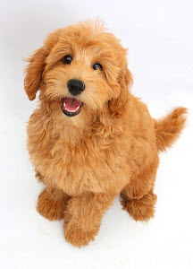 Cute red toy Goldendoodle puppy, Flicker, 12 weeks, sitting and looking up, against white background - Mark Taylor