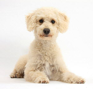 Cream Goldendoodle bitch, Lacy, 9 months, lying with head up, against white background  -  Mark Taylor