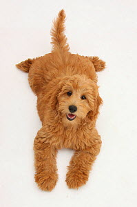 Cute red toy Goldendoodle puppy, Flicker, 12 weeks, lying sprawled out and looking up, against white background - Mark Taylor