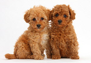 Two cute red Toy Poodle puppies, against white background - Mark Taylor