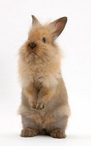 Young rabbit standing up, against white background - Mark Taylor