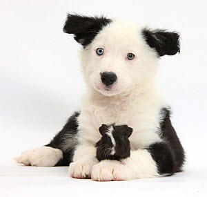 Black-and-white Border Collie pup and Guinea pig, against white background NOT AVAILABLE FOR BOOK USE - Mark Taylor