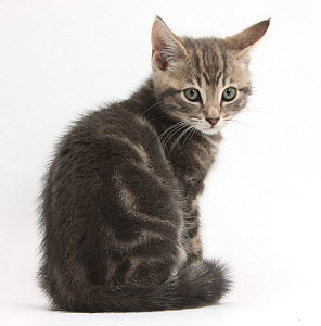 Tabby kitten, Max, 9 weeks, looking over his shoulder, against white background - Mark Taylor