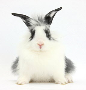 Young Lionhead-cross rabbit, against white background - Mark Taylor