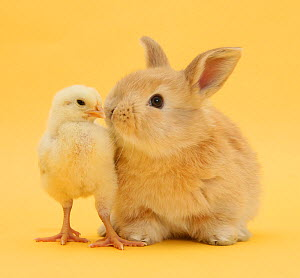 Cute sandy rabbit and bantam chick on yellow background. NOT AVAILABLE FOR BOOK USE - Mark Taylor