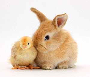 Cute sandy rabbit and yellow bantam chick, against white background NOT AVAILABLE FOR BOOK USE - Mark Taylor