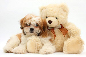 Maltese x Shih-tzu pup, Leo, 13 weeks, with a teddy bear, against white background - Mark Taylor