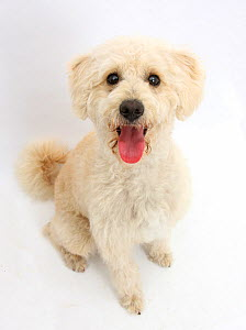 Cream Goldendoodle bitch, Lacy, 9 months, sitting and looking up, against white background  -  Mark Taylor