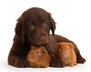 Liver Flatcoated Retriever puppy, 6 weeks, with two baby Guinea pigs, against white background NOT AVAILABLE FOR BOOK USE  -  Mark Taylor