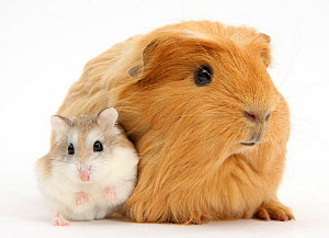 Ginger Guinea pig and Roborovski Hamster, against white background NOT AVAILABLE FOR BOOK USE  -  Mark Taylor