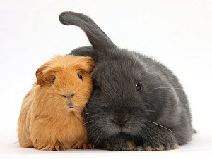 Ginger Guinea pig and blue-grey floppy-eared rabbit snuggling together, against white background NOT AVAILABLE FOR BOOK USE  -  Mark Taylor
