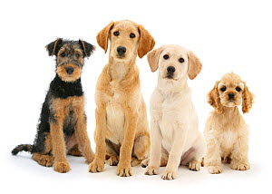 Airedale Terrier bitch pup, Molly, 3 months, Labradoodle pup, Maddy, Yellow Labrador Retriever pup, 3 months, and Buff American Cocker Spaniel pup, China, 10 weeks, against white background - Mark Taylor