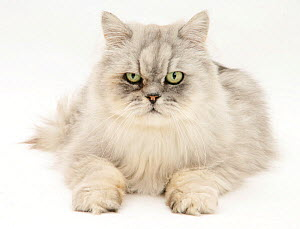 Silver tabby chinchilla Persian male cat, Cosmos, against white background - Mark Taylor