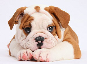 Bulldog puppy with chin on paws, against white background  -  Mark Taylor