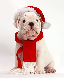 Mostly white Bulldog puppy wearing Father Christmas hat and scarf, against white background - Mark Taylor