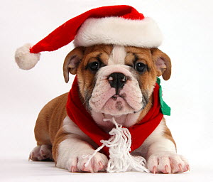 Bulldog puppy wearing Father Christmas hat and scarf, against white background - Mark Taylor
