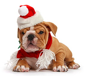 Bulldog puppy wearing Santa hat and scarf, against white background - Mark Taylor