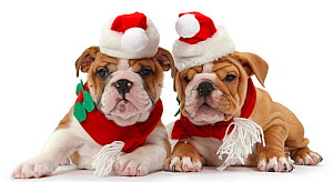 Bulldog puppies wearing Santa hat and scarf, against white background - Mark Taylor