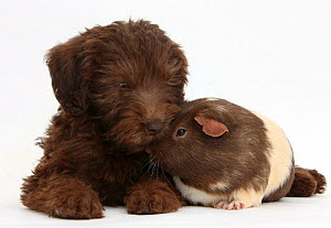 Chocolate Labradoodle puppy, 9 weeks, with Guinea pig, against white background NOT AVAILABLE FOR BOOK USE  -  Mark Taylor