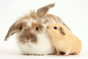 Brown-and-white rabbit and baby yellow Guinea pig, against white background NOT AVAILABLE FOR BOOK USE  -  Mark Taylor