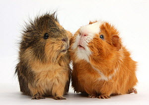 Two elderly Guinea pigs cheek-to-cheek, against white background  -  Mark Taylor