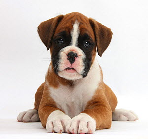 RF- Boxer puppy, 7 weeks, lying head up, against white background (This image may be licensed either as rights managed or royalty free.) - Mark Taylor
