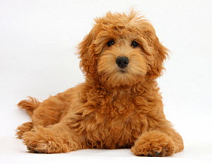Cute red toy Goldendoodle puppy, Flicker, 12 weeks, lying with head up, against white background - Mark Taylor