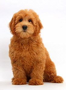 Cute red toy Goldendoodle puppy, Flicker, 12 weeks, sitting, against white background  -  Mark Taylor