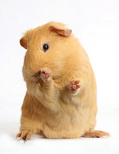 Yellow Guinea pig looking bashful, against white background  -  Mark Taylor