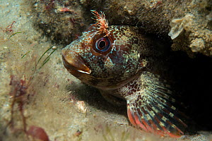 Tompot Blenny  (Parablennius gattorugine) on the wreck site of HMS Invincible. Eastern Solent Channel, England, UK, August 2013.  -  Michael Pitts