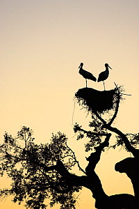 White stork (Ciconia ciconia) pair silhouetted on nest at sunset near Castro Verde, Alentejo, Portugal, February.  -  Mike Read