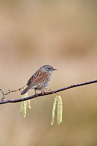 Dunnock (Prunella modularis) in hazel, New Forest National Park, Hampshire, England, UK, February.  -  Mike Read