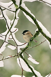 Marsh tit (Parus palustris) perched on snowy branch, New Forest National Park, Hampshire, England, UK, January.  -  Mike Read