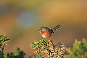 Dartford warbler (Sylvia undata) male perched on Gorse (Ulex europaeus) Keyhaven Marshes, Lymington-Keyhaven Nature Reserve, Hampshire, England, UK, October.  -  Mike Read