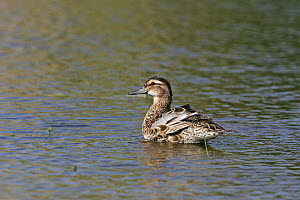 Garganey (Anas querquerdula) adult male in eclipse plumage bathing in pool near Tiszaalpar, Hungary, June.  -  Mike Read