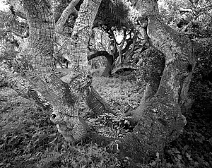 Black and white photograph of Coastal live oak (Quercus agrifolia) trees in Los Osos Oak Reserve, California, USA.  -  Kirkendall-Spring