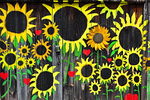 Sunflowers painted on  barn wall,  along State Highway, Bat Cave, Henderson County. North Carolina, USA, October 2013.  -  Kirkendall-Spring