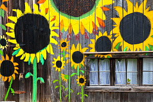 Sunflowers painted  on side of  barn along State Highway, Bat Cave, Henderson County. North Carolina, USA, October 2013. - Kirkendall-Spring