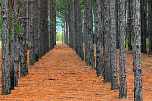 Planted pine forest along State Highway  near Fair Bluff. North Carolina, USA, October 2013.  -  Kirkendall-Spring