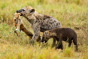 Spotted hyena (Crocuta crocuta) young playing with the skin of a baby Thomson's gazelle, Masai-Mara game reserve, Kenya, August - Denis-Huot
