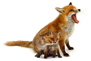 Red fox (Vulpes vulpes) yawning with cubs, against white background. - Jane Burton