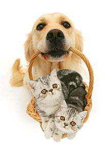 Labrador retriever carrying basket of kittens, white Background. NOT AVAILABLE FOR BOOK USE  -  Jane Burton