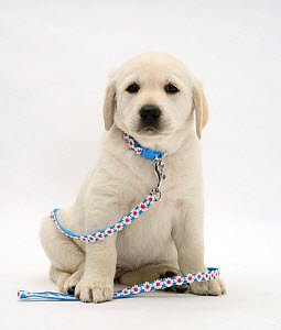 Yellow Goldador Retriever puppy with blue daisy-chain collar and lead, against white background - Jane Burton