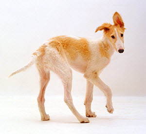 Borzoi pup, Aloyisous, 12 weeks, against white background - Jane Burton
