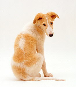 Borzoi pup, Aloyisous, 10 weeks, looking over his shoulder, against white background - Jane Burton