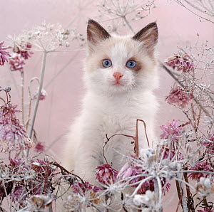 Blue-eyed bicolour ragdoll-cross kitten, Fergus, among frosty everlasting daisies and cow parsley deadheads. - Jane Burton